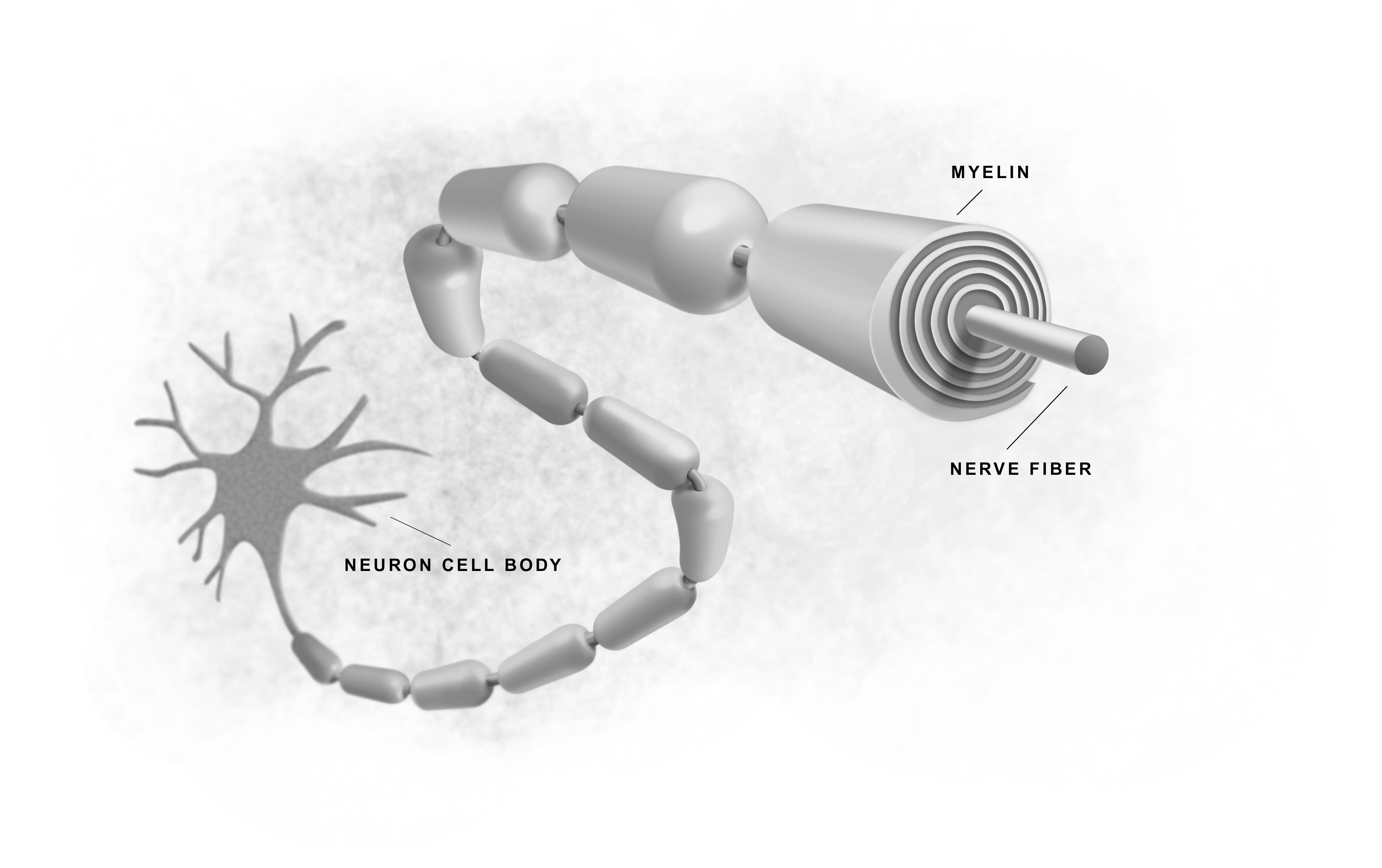 La myéline autour d'une fibre nerveuse